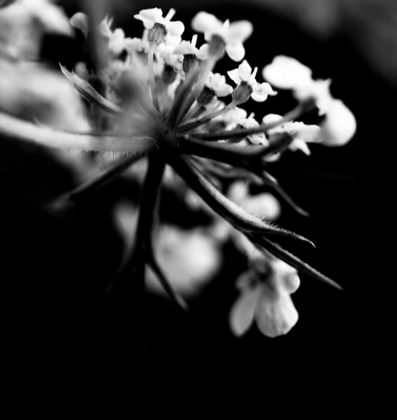 Queen Anne's Lace, whose meaning is safety and sanctuary, is captured here by a Karana Rising team member. 2018.