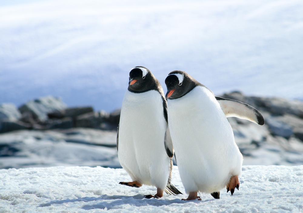 two gentoo penguins walk on ice Antarcica