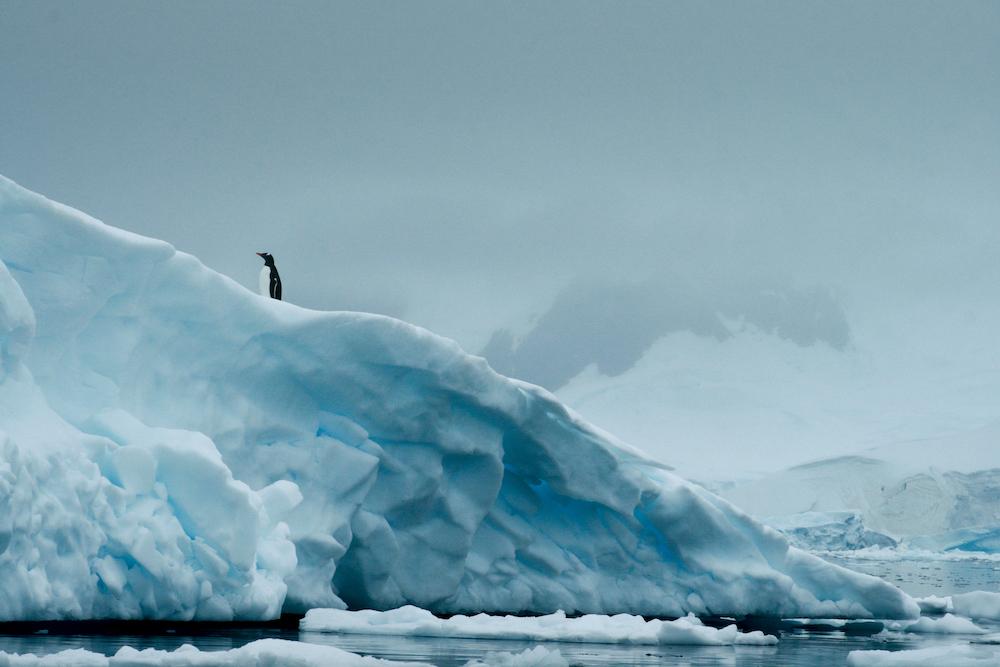 Lone gentoo penguin on iceberg wilhelmina bay Antarctica