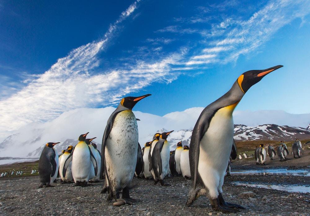 king penguins on south georgia blue sky