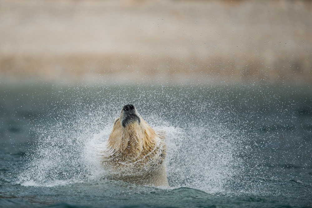 Polar bear shakes himself off in water Arctic