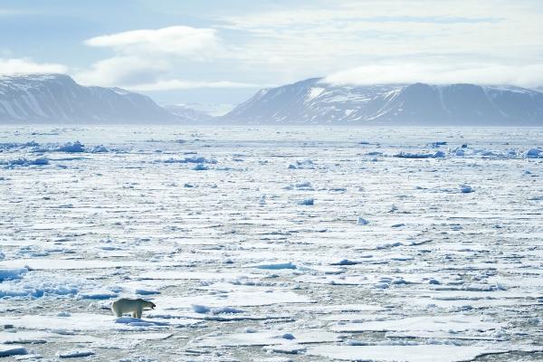 Polar bear on ice Svalbard Arctic