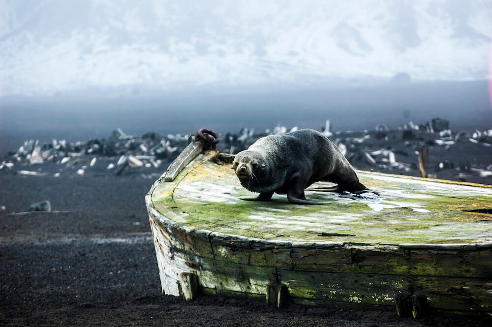 Fur seal on old boat on beach at Deception Island Antarctica