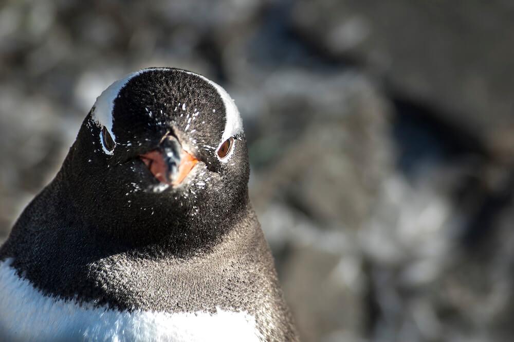 Close up of gentoo penguin Antarcica