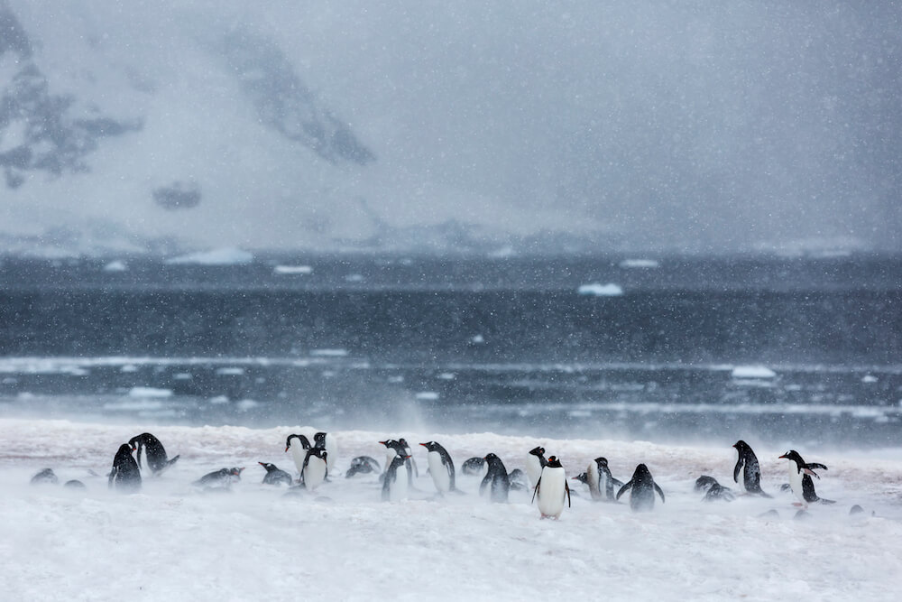 Penguins in a Snowstorm