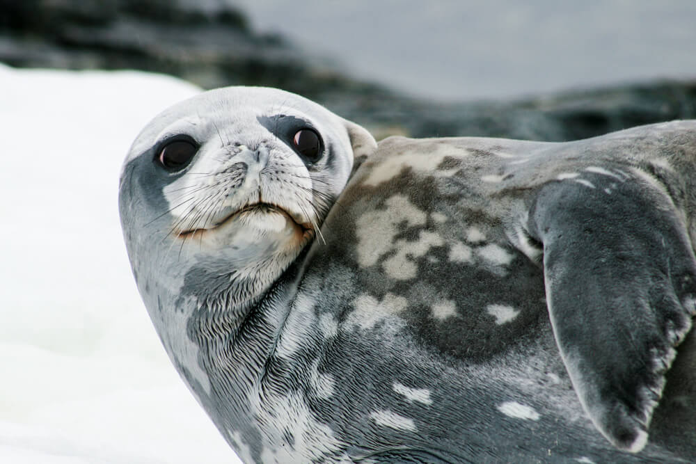 Weddell seal on ice, Antarcica