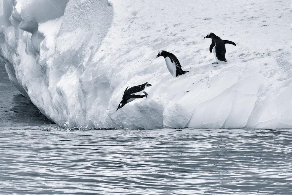 penguins jumping off iceberg antarctica cyanotype image christophe ngo