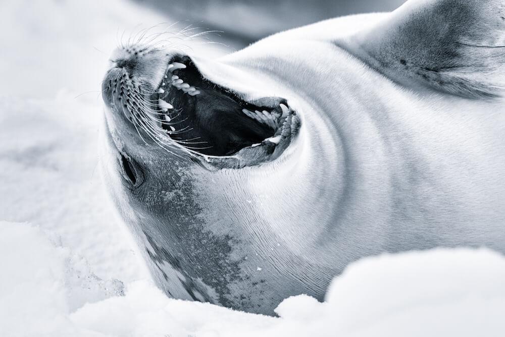 yawning seal antarctica cyanotype image christophe ngo