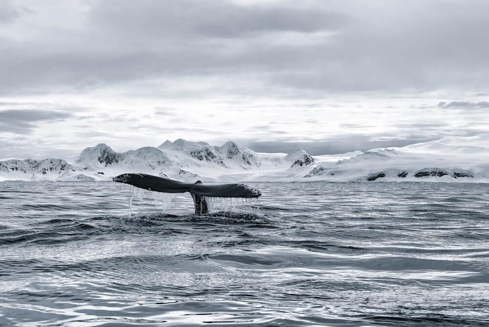 humpback whale fluke antarctica cyanotype image christophe ngo