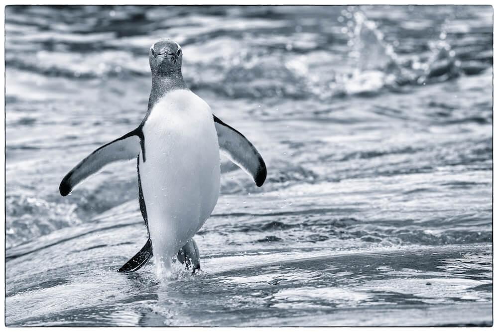gentoo penguin antarctica in water cyanotype christophe ngo