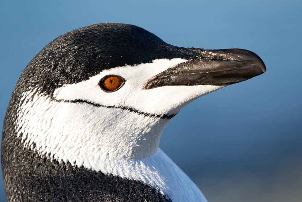 chinstrap-penguin-craig-brown-antarctica.jpg