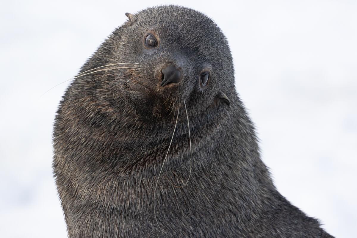 fur-seal-craig-brown-antarcticajpg