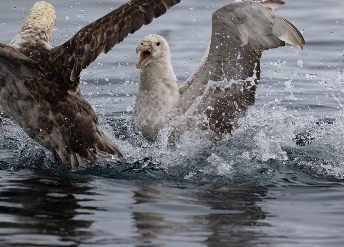 giant-petrel-water-craig-brown.jpg