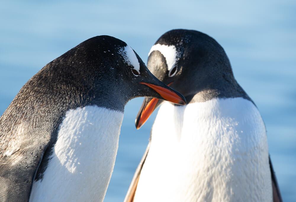 gentoo-penguins-craig-brown-antarctica.jpg