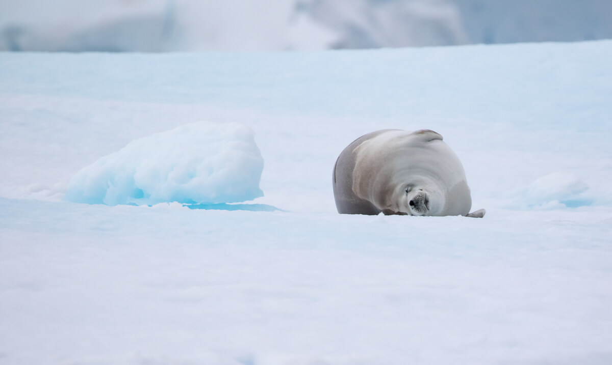 seal-on-ice-antarctica-craig-brown.jpg