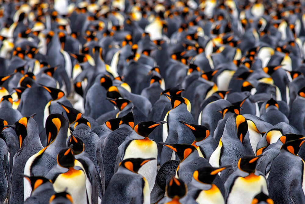 Over 60,000 pairs of king penguins gather on the beach of Salisbury Plain, South Georgia.