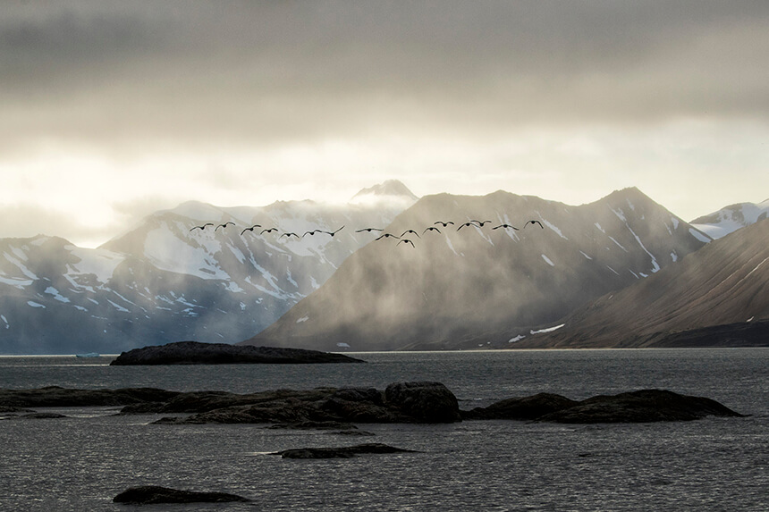 A flock of barnacle geese take off Hornsund, Spitsbergen, Svalbard as they set off on their autumn migration to south-west Scotland.