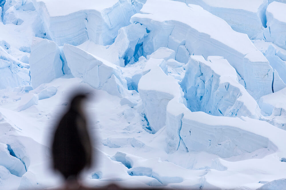 A gentoo penguin looks toward a glacier front in Neko Harbor, Antarctica.