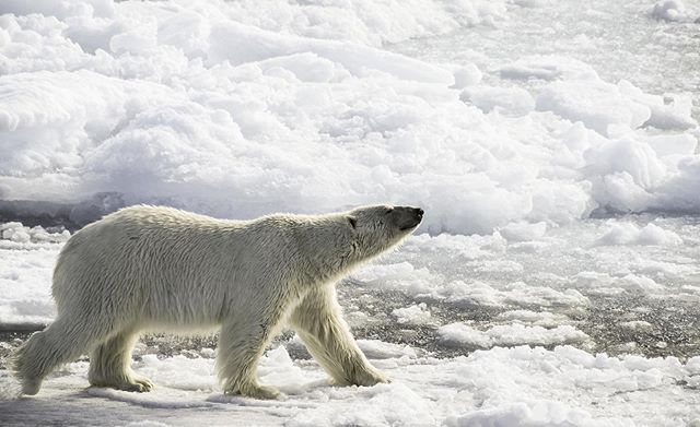 The lord of the Arctic patrolling the sea ice of Svalbard.