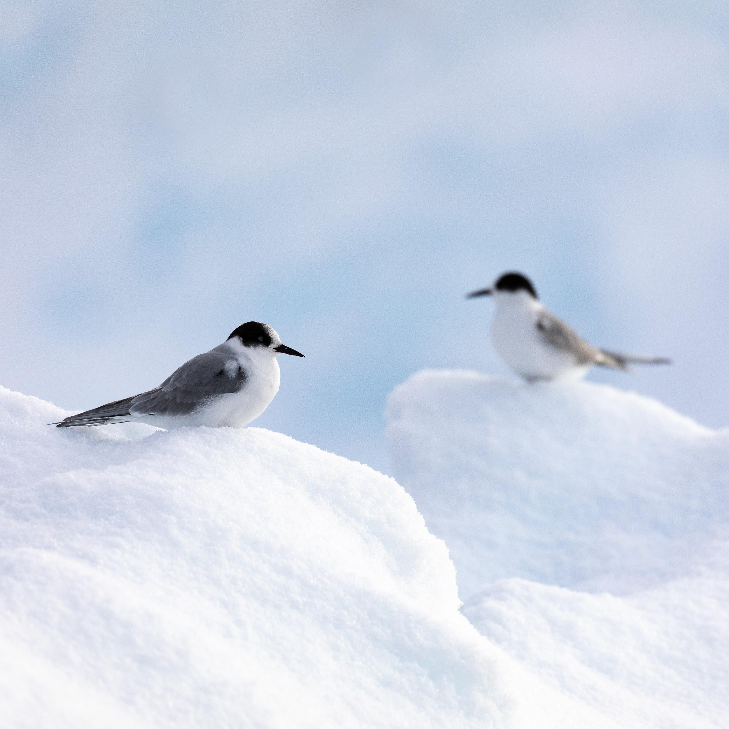 AmandaHiemstra-arctic-terns.jpg