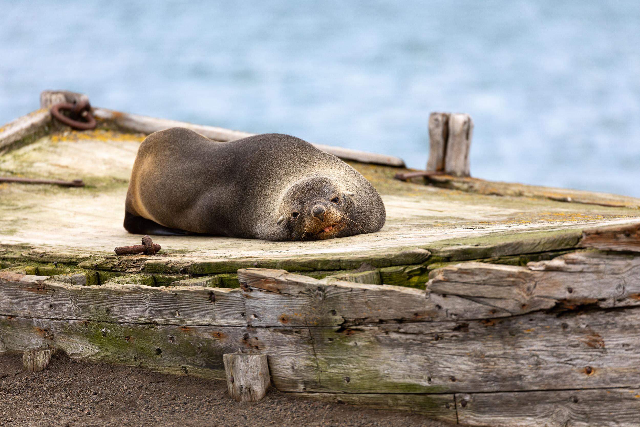 AmandaHiemstra-seal-deception-island.jpg