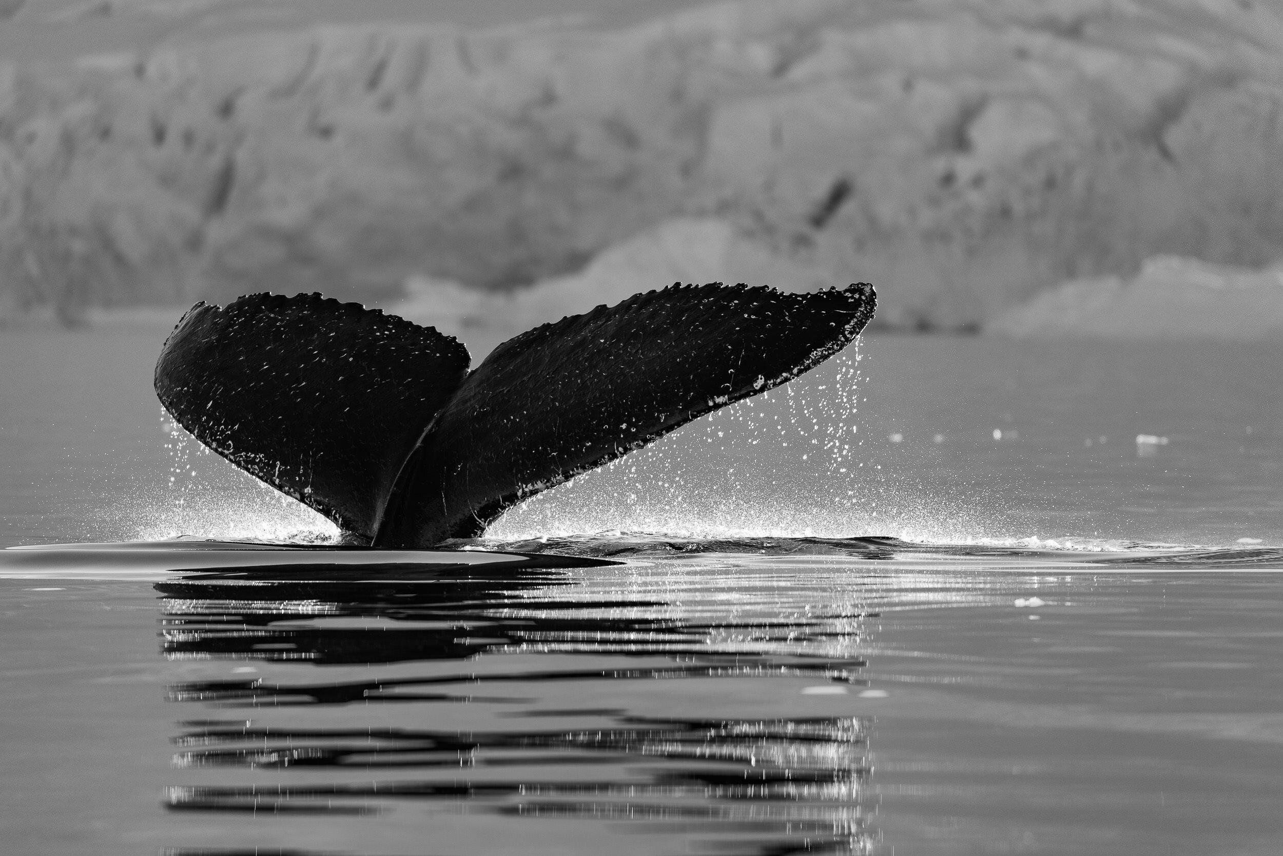 AmandaHiemstra-whale-fluke-antarctica.jpg