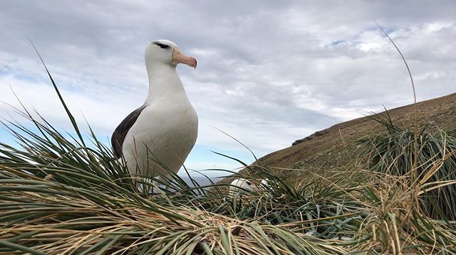 At West Point Island in the Falklands, black-browed albatross nest side by side with rockhopper penguins. This makes for absolutely incredible wildlife viewing! 🐧