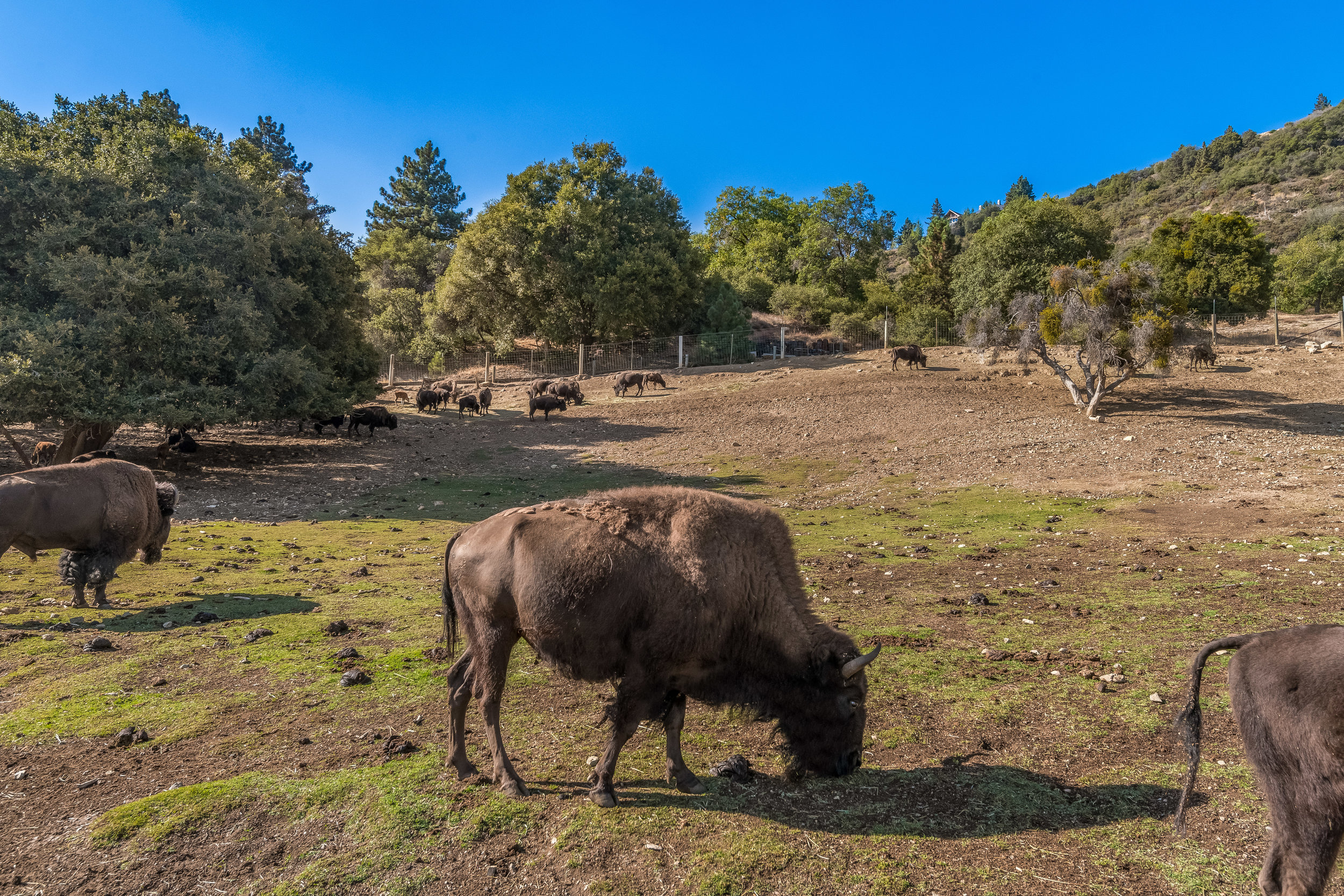 The Buffalo Ranch/ - The fully-operating Buffalo Ranch comes with 45 buffalo, which are both grass- and apple-fed and sustainably served at the Oak Glen Steakhouse and Saloon.