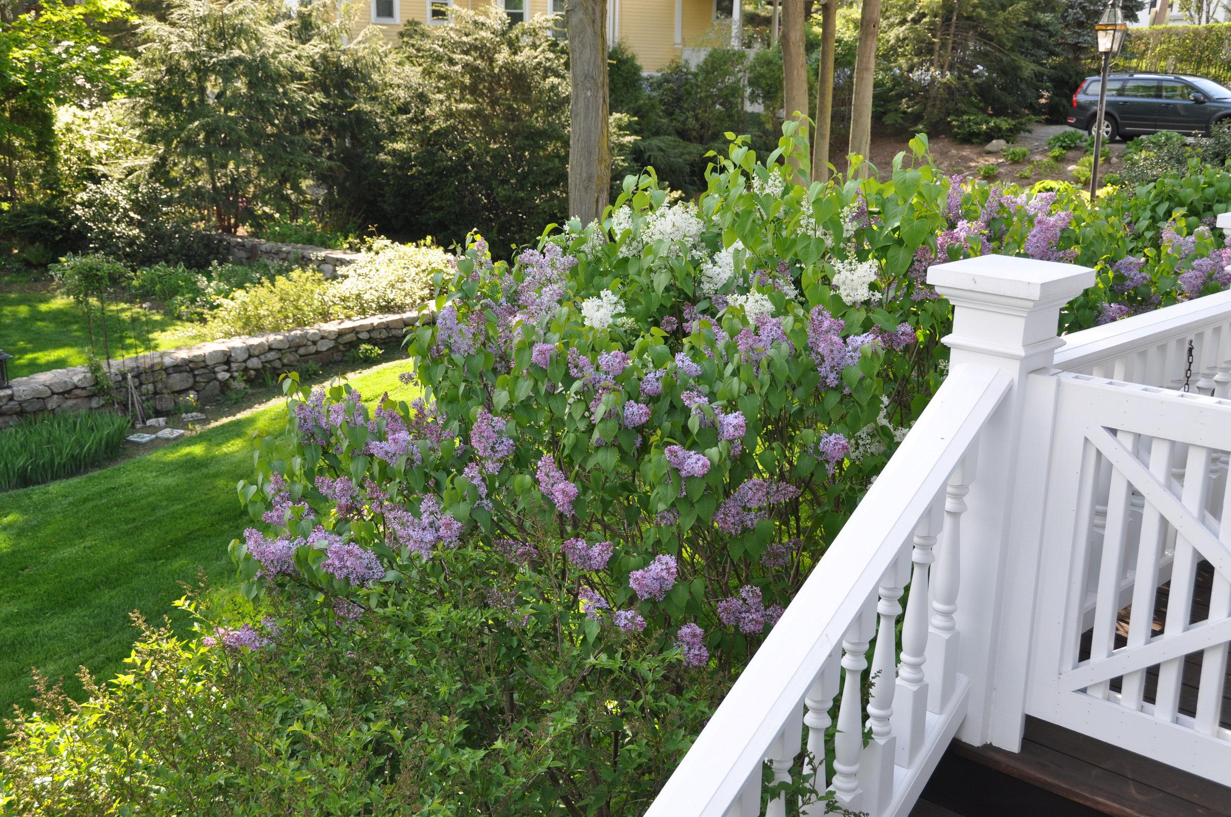 Lilacs in bloom beside the railing to verandah.jpg