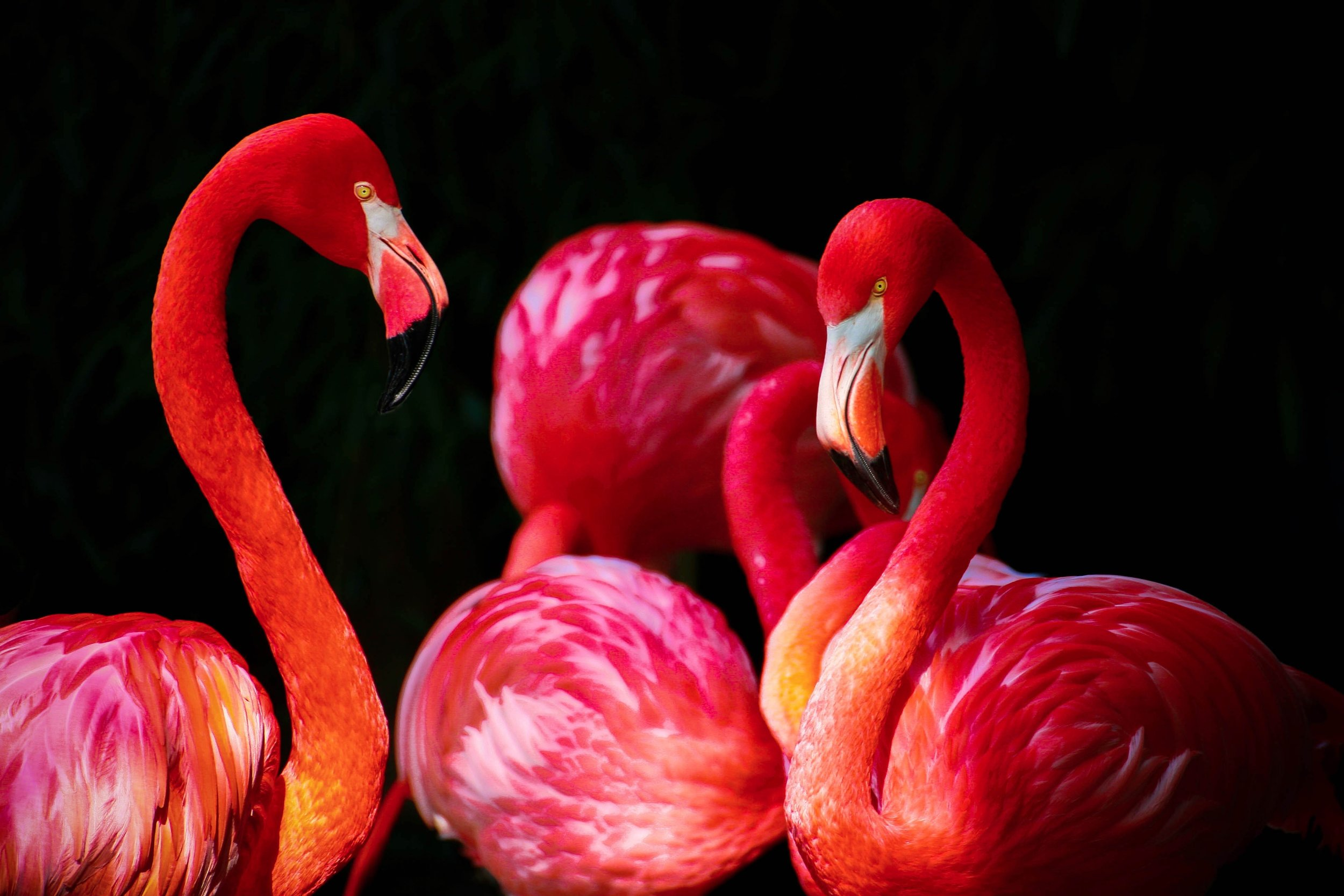 animals-birds-caribbean-flamingo-36018.jpg