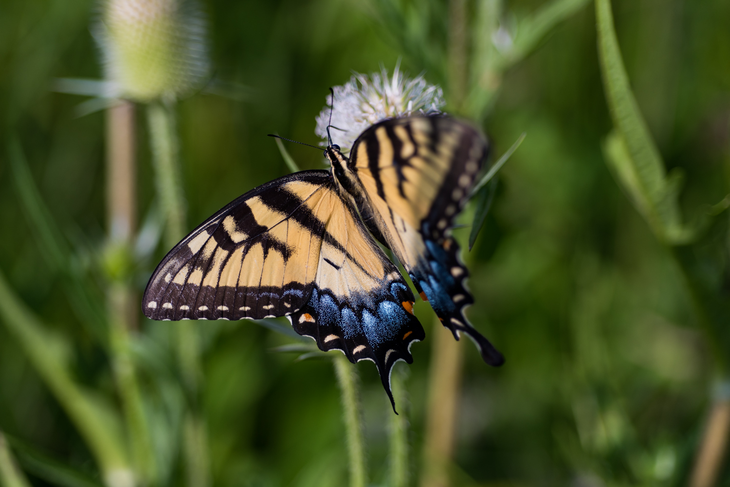 Color Photograph, Insect, Flower, Butterfly, Thistle, Midwest, Interior Design, Wall Art