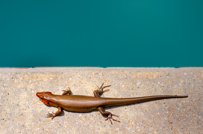 Color Photograph, Lizard, Midwest, Interior Design, Wall Art