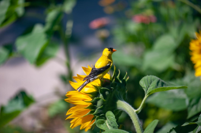 Color Photograph, American Goldfinch, Sunflower, Flower, Bird, Midwest, Interior Design, Wall Art
