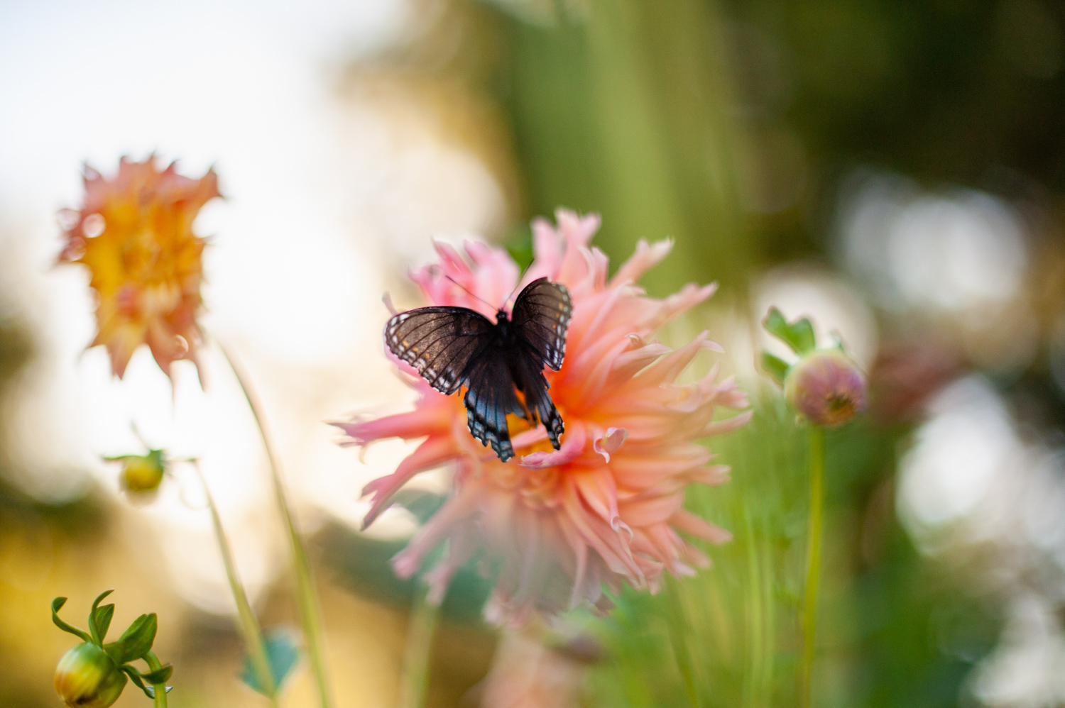 Color Photograph, Insect, Flower, Butterfly, Dahlia, Midwest, Interior Design, Wall Art