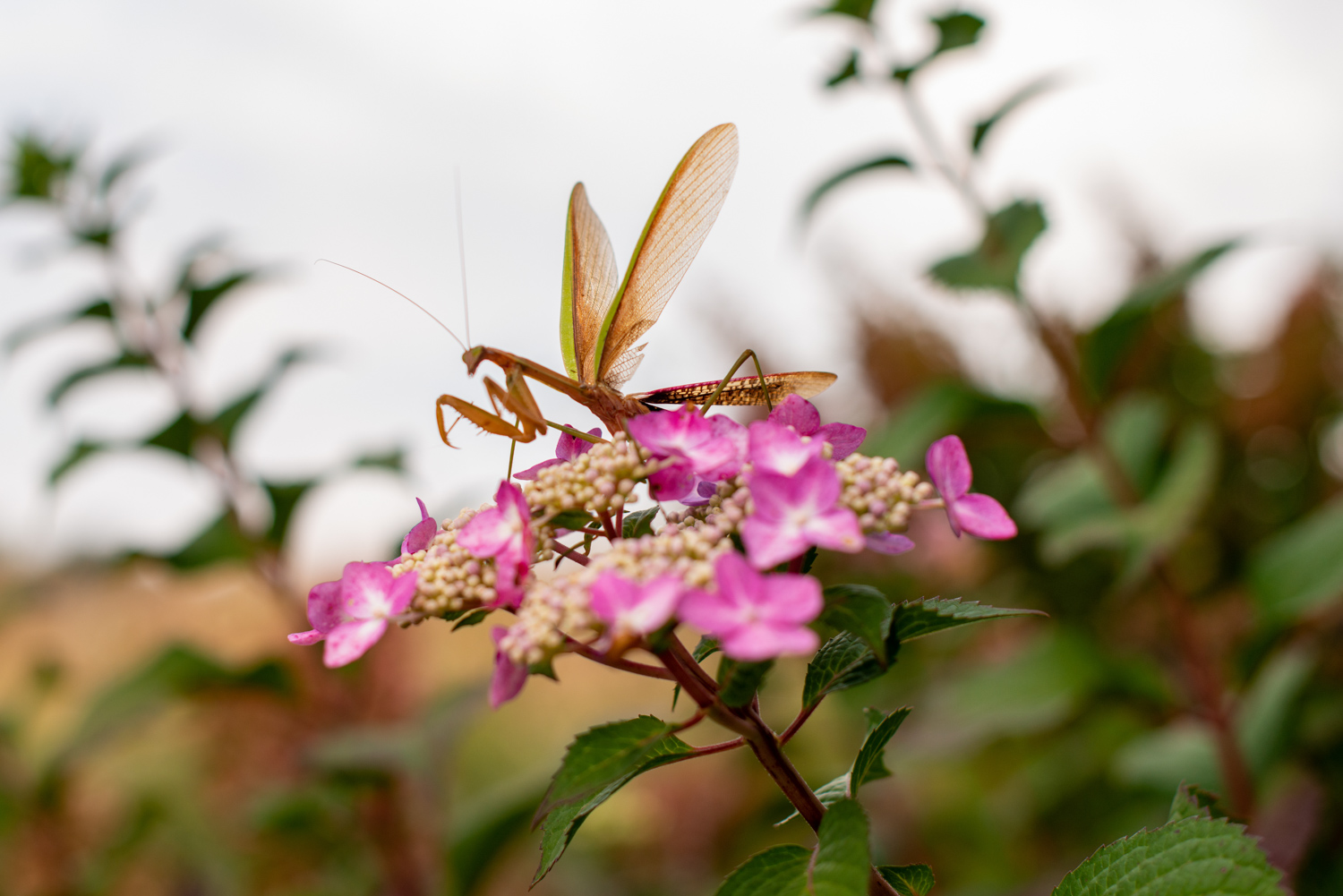 Color Photograph, Insect, Flower, Hydrangea, Praying Mantis, Midwest, Interior Design, Wall Art