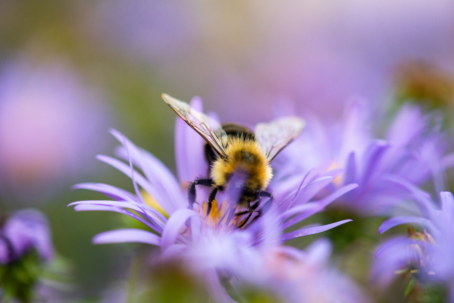 Color Photograph, Insect, Flower, Bumble Bee, Midwest, Interior Design, Wall Art