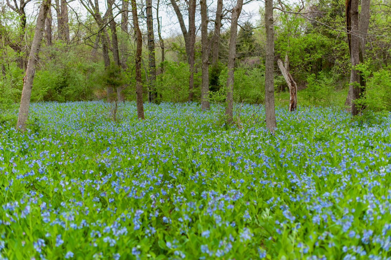 Landscape, Bluebells, Midwest, Color Photograph, Healing Art, Hospital Art, Interior Design, Wall Art