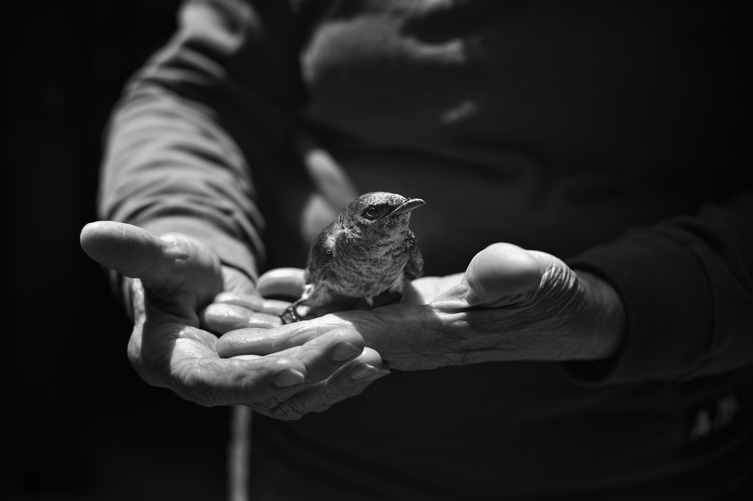 Black and White Photograph, Bird, Hands, Midwest,Interior Design, Wall Art