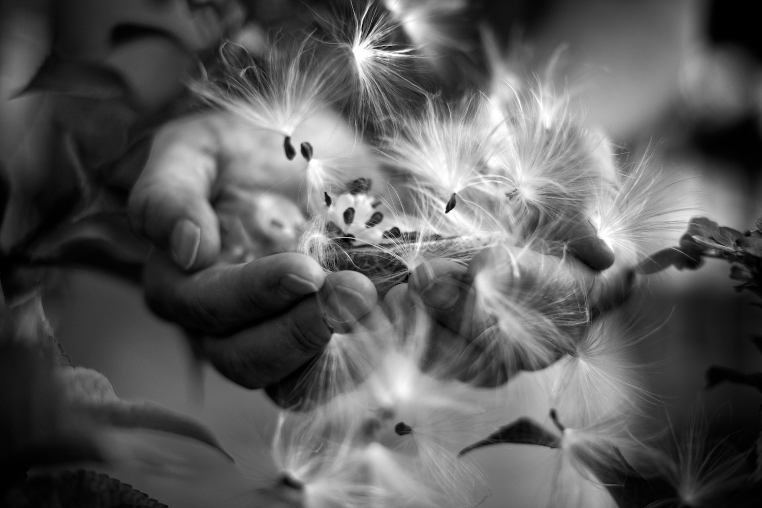 Black and White Photograph, Midwest, Seeds, Hands, Milk Weed, Interior Design, Wall Art