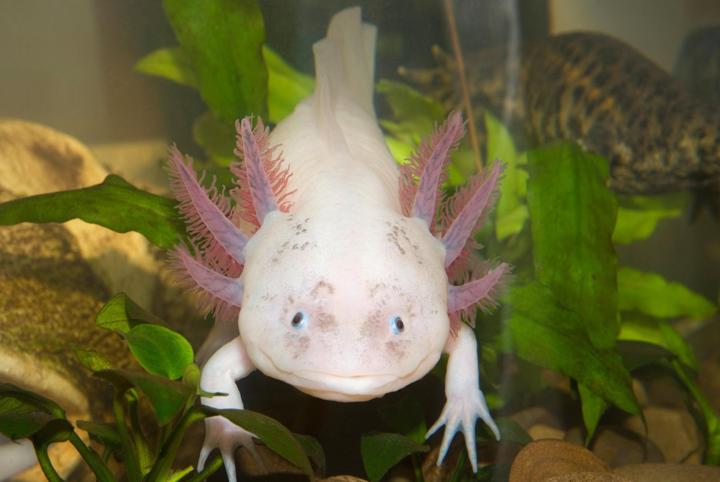 Este Pokémon de vida real se llama Axolotl y es una de las salamandras que tiene la capacidad de regenerar sus extremidades unas 15 veces.