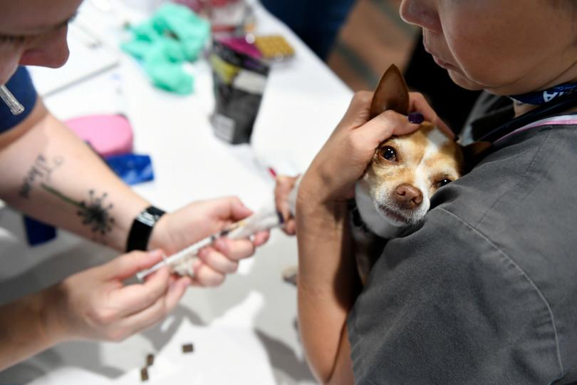 AVMA Street Clinic, July 17, 2018, Denver Convention Center. (Photos courtesy Denver Post) Chihuahua vaccine.jpeg