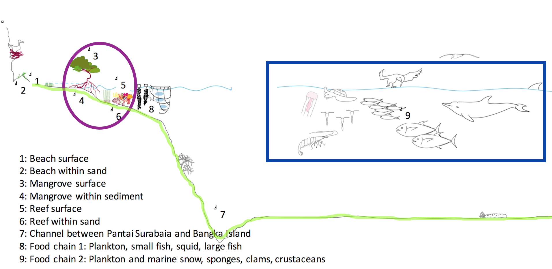 Schematic view of typical marine situations that plastic debris have been found. Compartments of interest: Blue frame: Part A, the pelagic realm, green hatched line: Part B, beaches and sediments, purple ellipse: mangrove, seagrass beds and reefs.