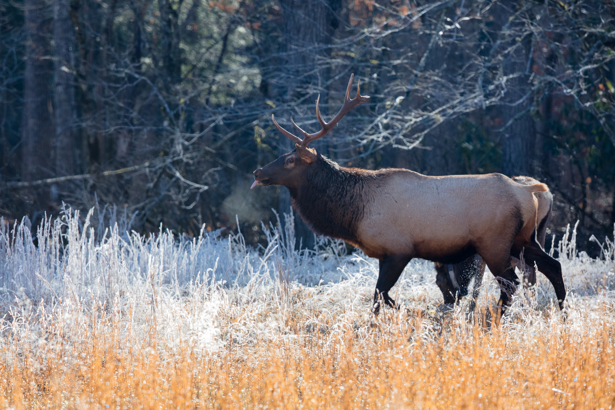 Dominant male elk continuously testing the air, warm breath fogging up on a relatively cold and frosty morning in Cataloochee Valley.