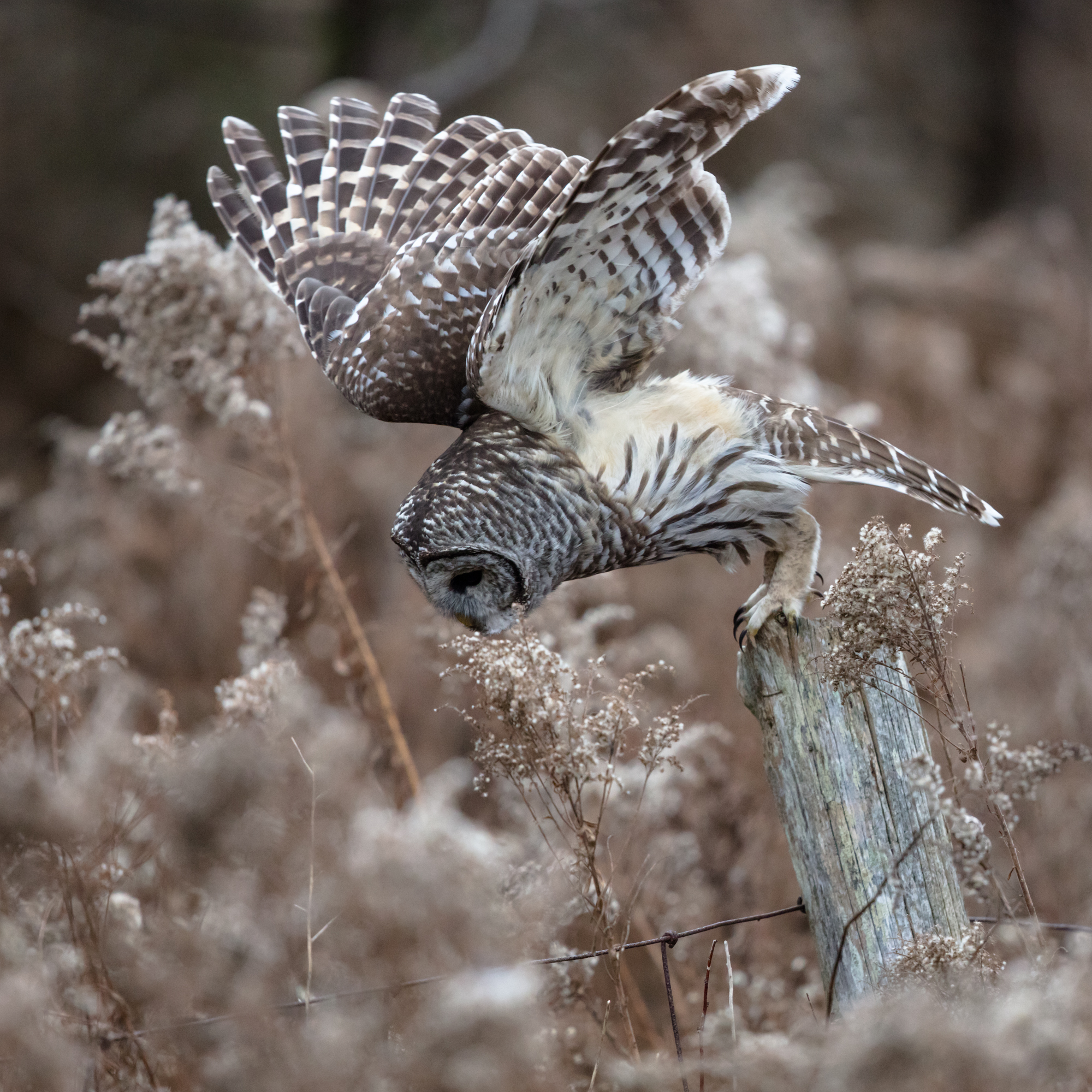Start of the hunt, Barred Owl taking it to the voles.