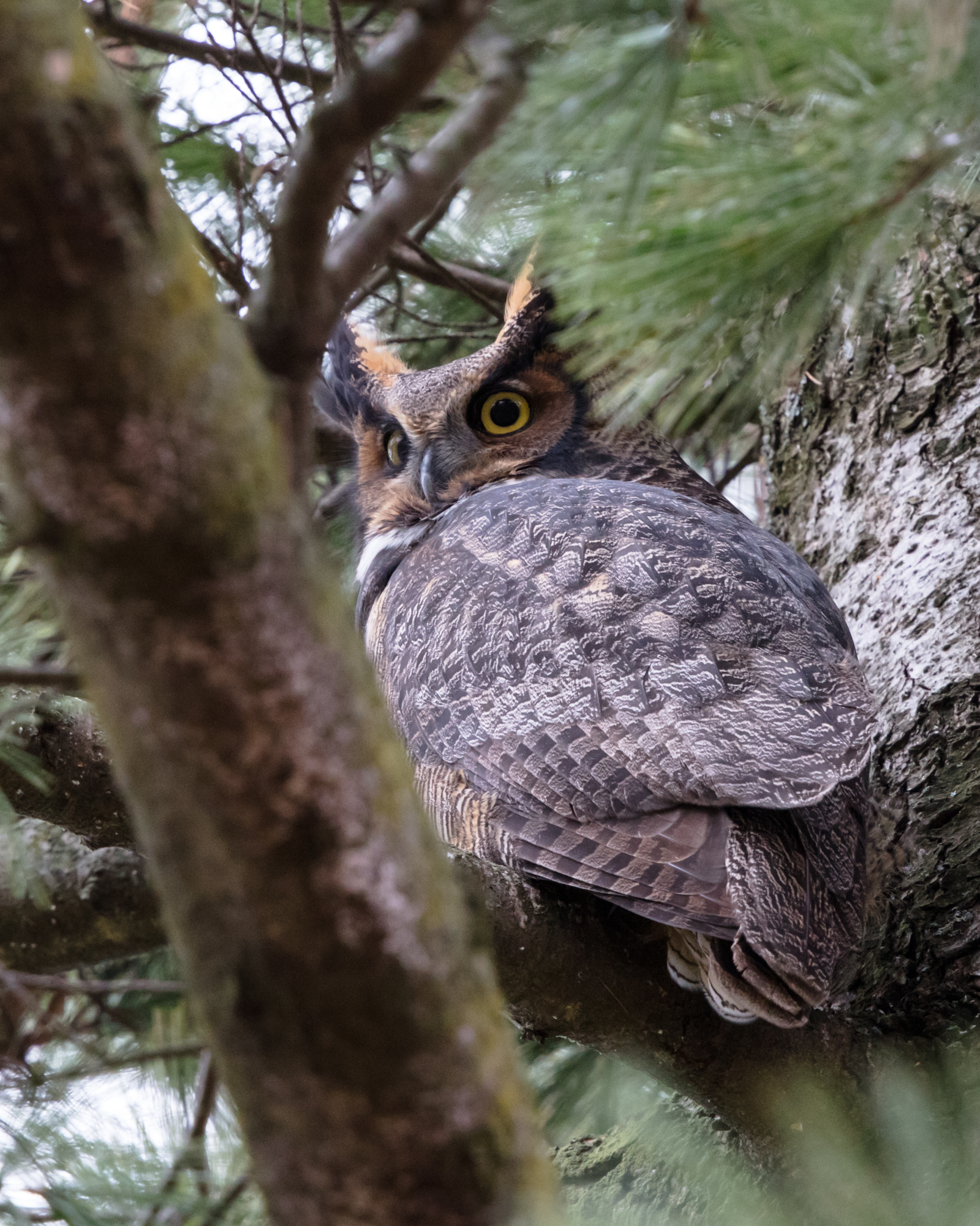 Great Horned Owl high up in the white pines