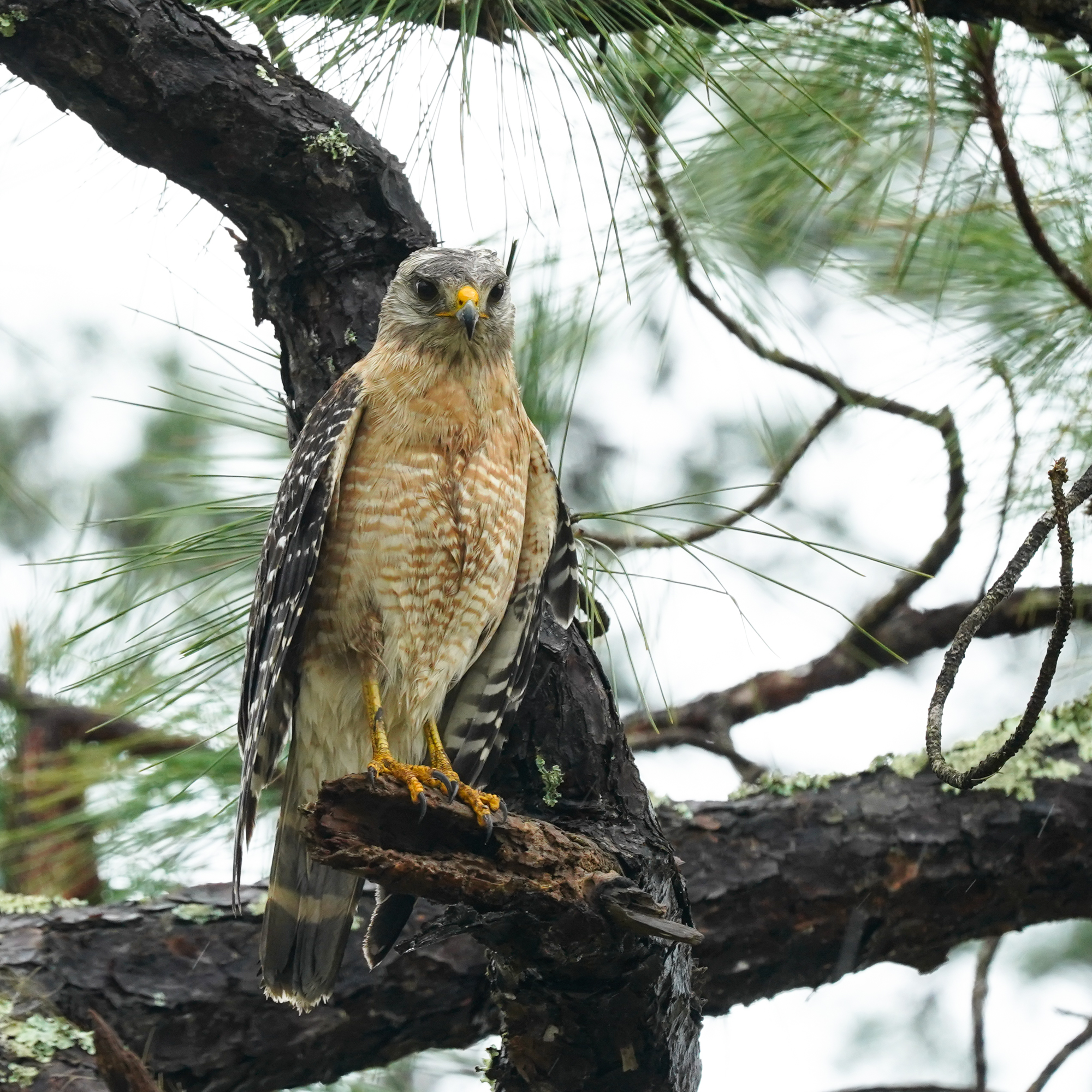 red-shouldered hawk looking a little ragged after a massive rain storm