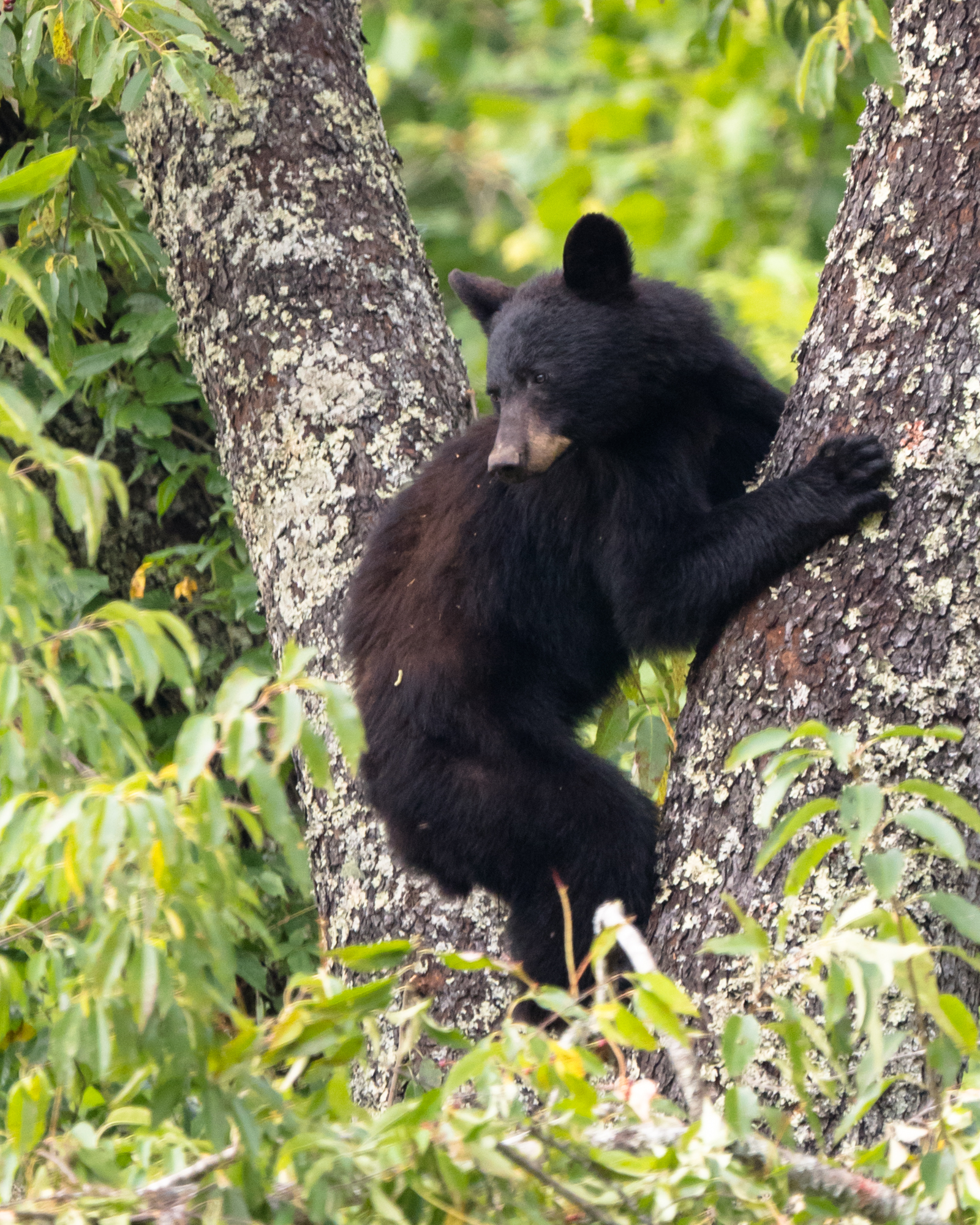 Black bear in the cherry trees. Cades Cove, Smoky Mountains National Park. 560mm at f/8, 1/320s, and ISO 3200.