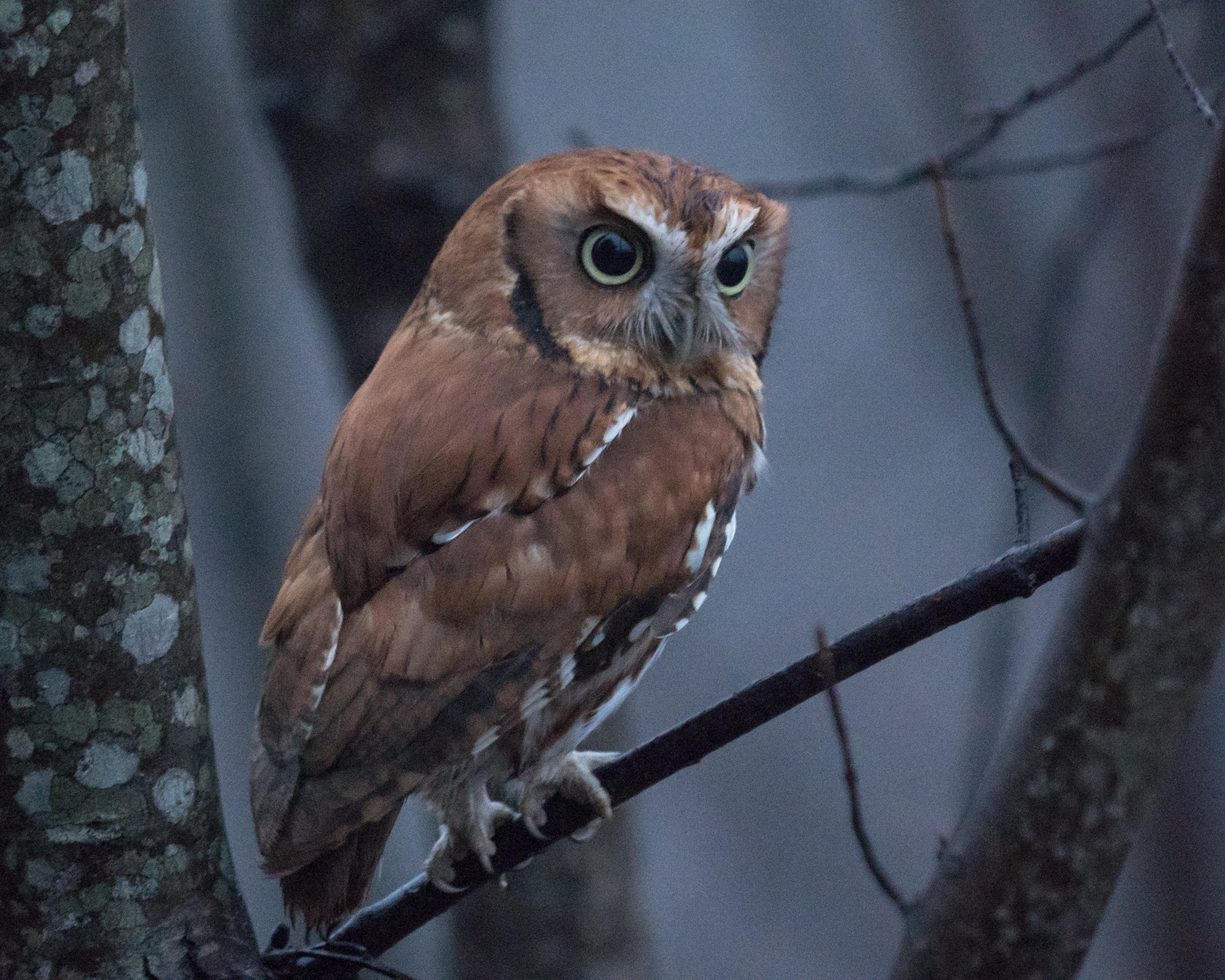 Red Morph Screech Owl after dark. 400mm at f/6.3, 1/13s, and ISO 6400. Kudos to the image stabilzer and ability to focus in almost no light.