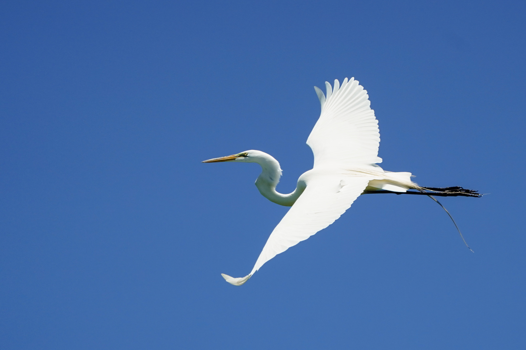 Great Egret in flight. 400mm at f/5.6, 1/2500s, ISO 400