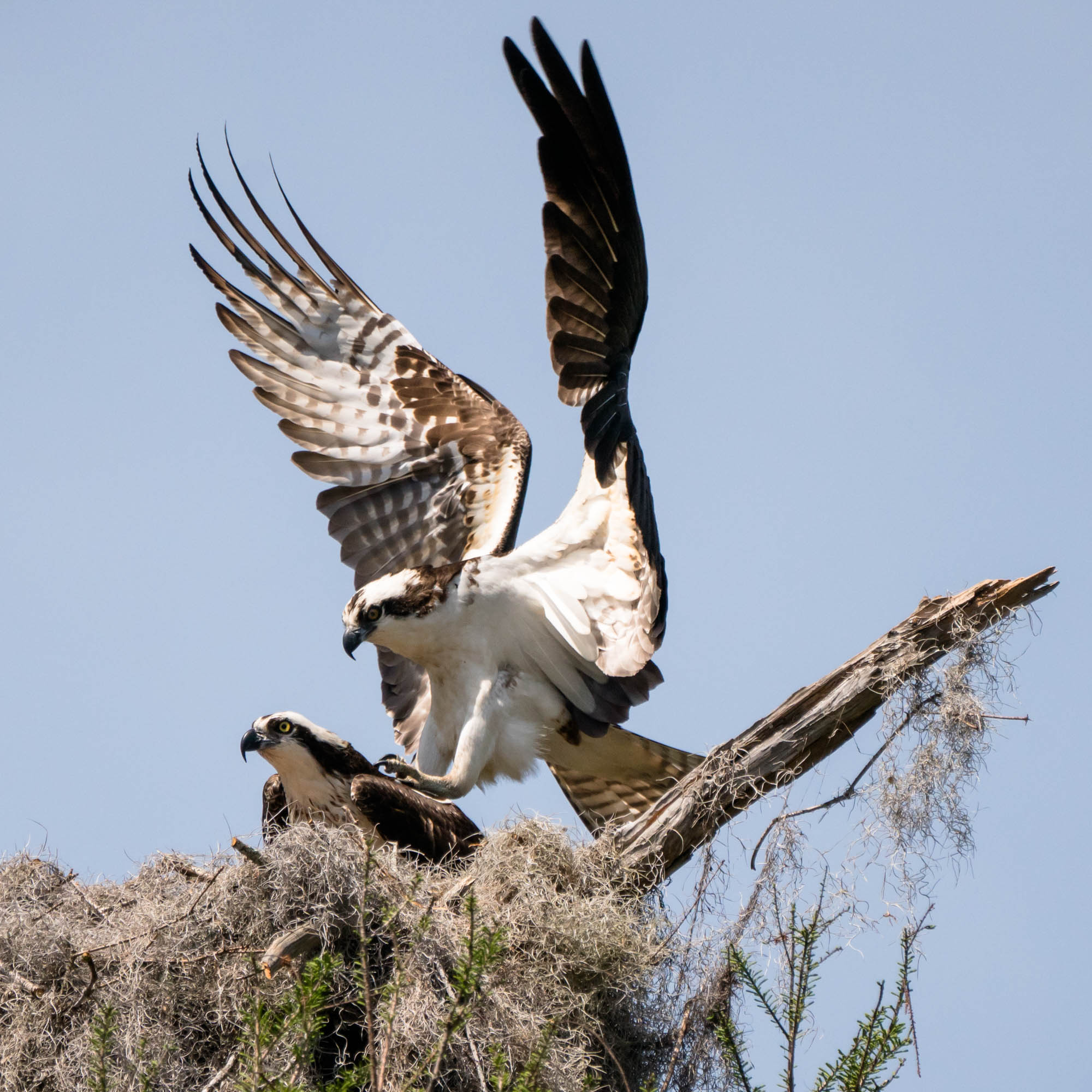 Pair of Osprey doing what they do in their nest